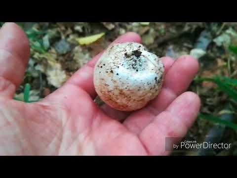 весёлка обыкновенная необыкновенно целебный гриб выращивание