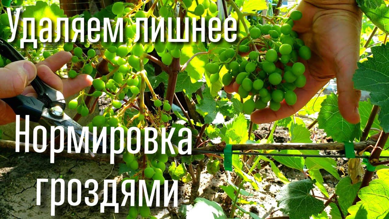 Нормировка гроздями. Удаляем ЛИШНИЕ грозди.  Нагрузка виноградного куста