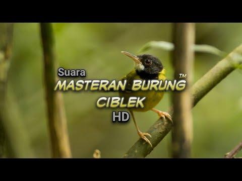 #4 Terapi Masteran - Burung Ciblek Gacor I Prenjak HD Audio