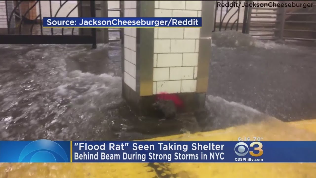 'Flood Rat': Video Of Rat Hiding From NYC Subway Flooding Goes Viral