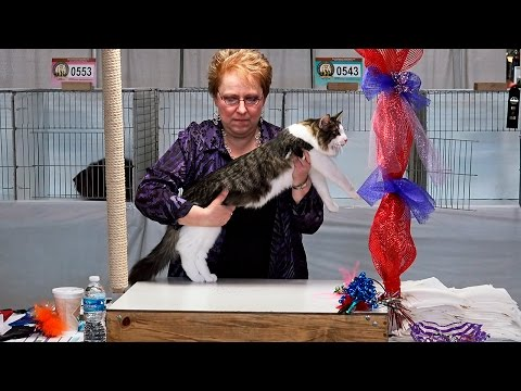 CFA World Show 2014, Other breed kittens, Purple Show set 1