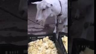 哎呀妈呀!得到一只就是一顿造的吃的贼啦香呢这羊饿的不得了啊.
