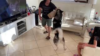 Training my Husky how to attack on command / Guardogs