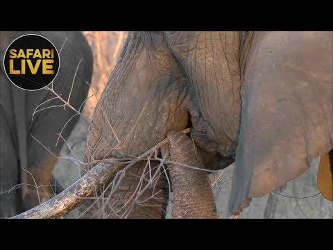 safariLIVE - Sunset Safari - October 9, 2018