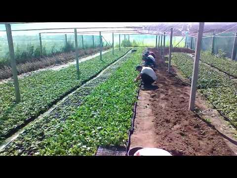 Подготовка клубней георгинов к посадке весной