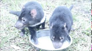 Tasmanian devil joeys drinking from bowl thumbnail