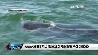 Kawanan Hiu Paus Muncul di Perairan Probolinggo