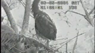 Raccoon attacks Great Blue Heron nestling