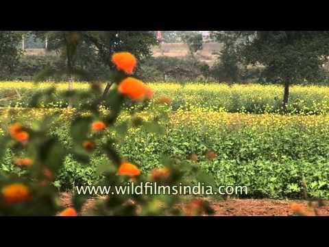 Farming life in rural Uttar Pradesh, India