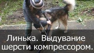 Линька у собак. Выдувание шерсти с помощью компрессора