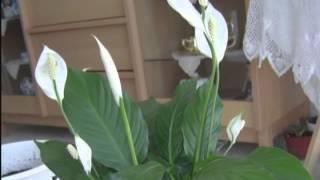 Главное -- побольше влаги(Советы по уходу за комнатными растениями -- антуриумом и спатифиллумом., 2013-05-15T08:37:57.000Z)