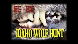 BIG BAD , IDAHO WOLF HUNT: 2019