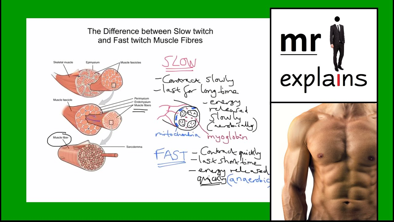 twitch muscle fibers Building fast twitch fibers you use fast twitch muscle fibers during a heavy weightlifting movement if you bench press as much weight as you possibly can for one.