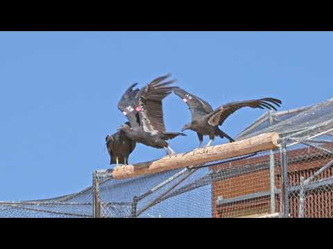 Four Oregon Zoo-Hatched Condors Released In Arizona
