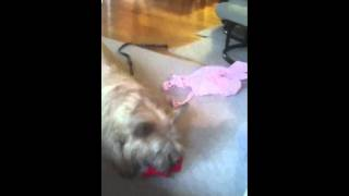 Cute Cairn Terrier Runs Off With Our Daughter's Knitting Projects