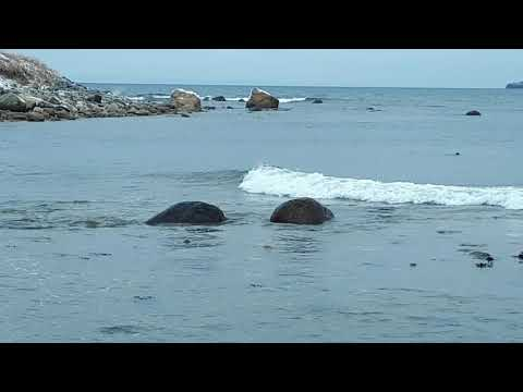 Seals swimming near beach in Conception Bay South, Newfoundland, Canada