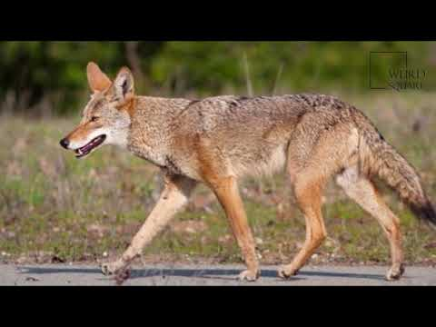 Interesting Facts About Coyote By Weird Square