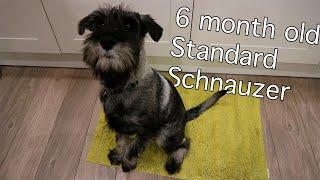 6 Month Old Standard Schnauzer | Burt Updates #5