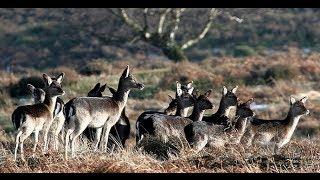 Fallow Deer Cull Stalking with Cervus-UK