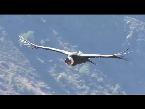 Resultado de imagen para imágenes de cóndor volando alto