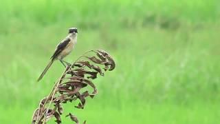 Birds in the ricefields / Vietnam