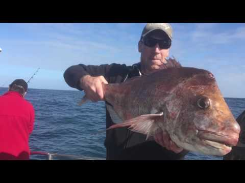 THE OZZIE HOBBIT VS THE PALOMINO MAORI IN ROUND 1 of the Trans-Tasman Fishing Test