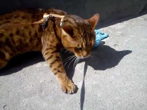 Kot Bengalski Warczy Czuje Inne Koty Youtube