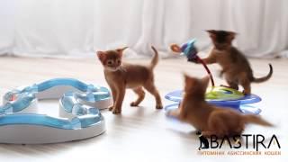 Питомник Абиссинских кошек Bastira (видео_2)