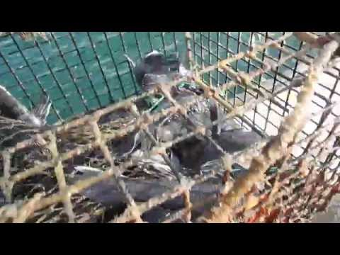 seabass trap fishing