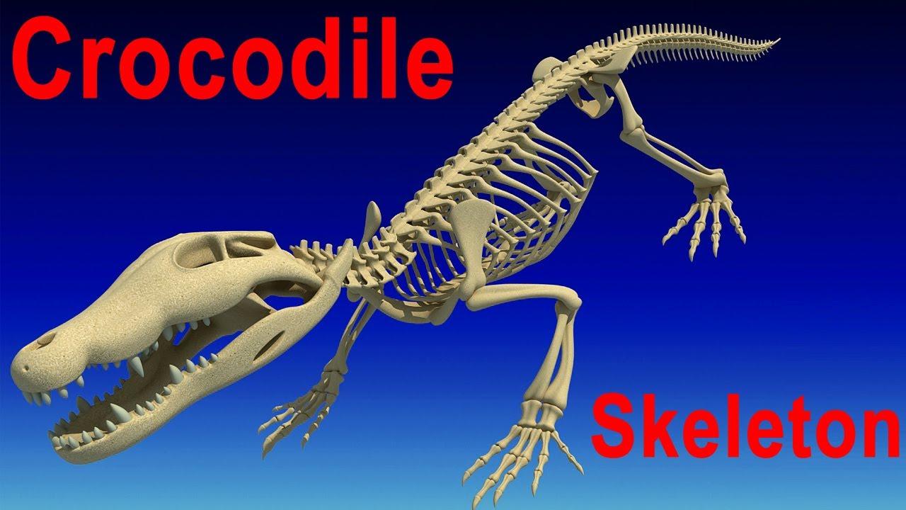 Crocodile skeleton - photo#15