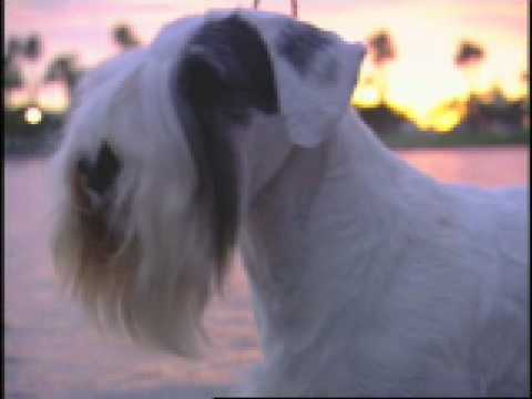 The SEALYHAM Terrier Crufts 2009 Best in Show