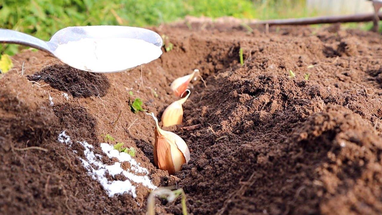 Вот это удобрение под посадку озимого чеснока от которого  вырастают гигантские зубчики!