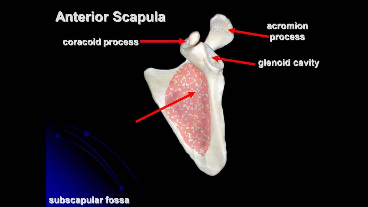 Pectoral Girdle And Upper Limb Appendicular Skeleton4 Youtube