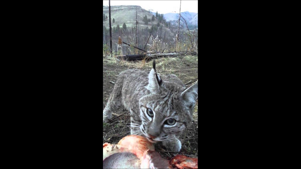 bobcat eating mule deer youtube