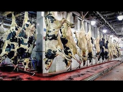 Incredible modern giant beef processing technology factory. Amazing workers cutting meat skill