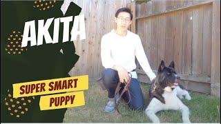 Super Smart American Akita
