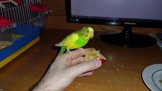 Попугай и яблоко
