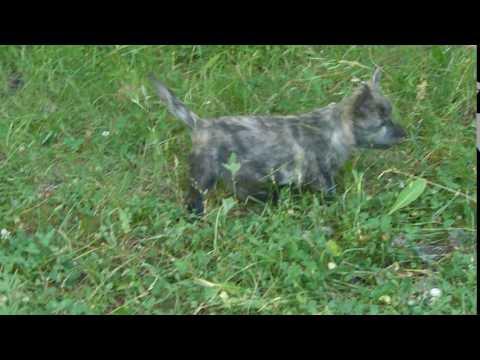 Cachorros Cairn Terrier