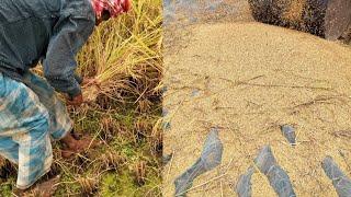 rice-cultivation-assam-beautiful-paddy-fields-new-assamese-science-study-media