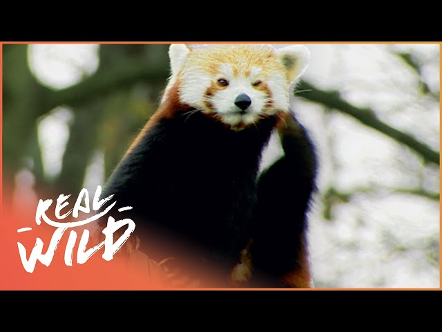 Incredible Red Pandas Explore Their Enclosure | Zoo Days | Real Wild