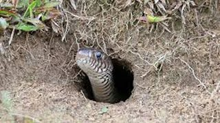 Wow! Brave Man Catch Snake In the Hole by Digging-How to Dig and Catch Snake at The Rice Field