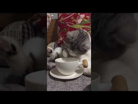 The cat drinks water like a human