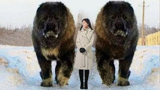 Download 10 Abnormally Large Dogs Around The World! Mp3 and Videos