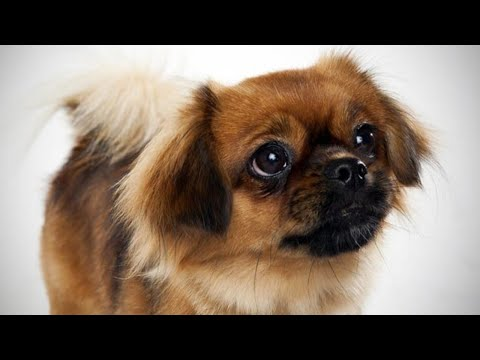 Amazing Facts on Tibetan Spaniel | In Hindi | Dog Facts | Animal Channel Hindi