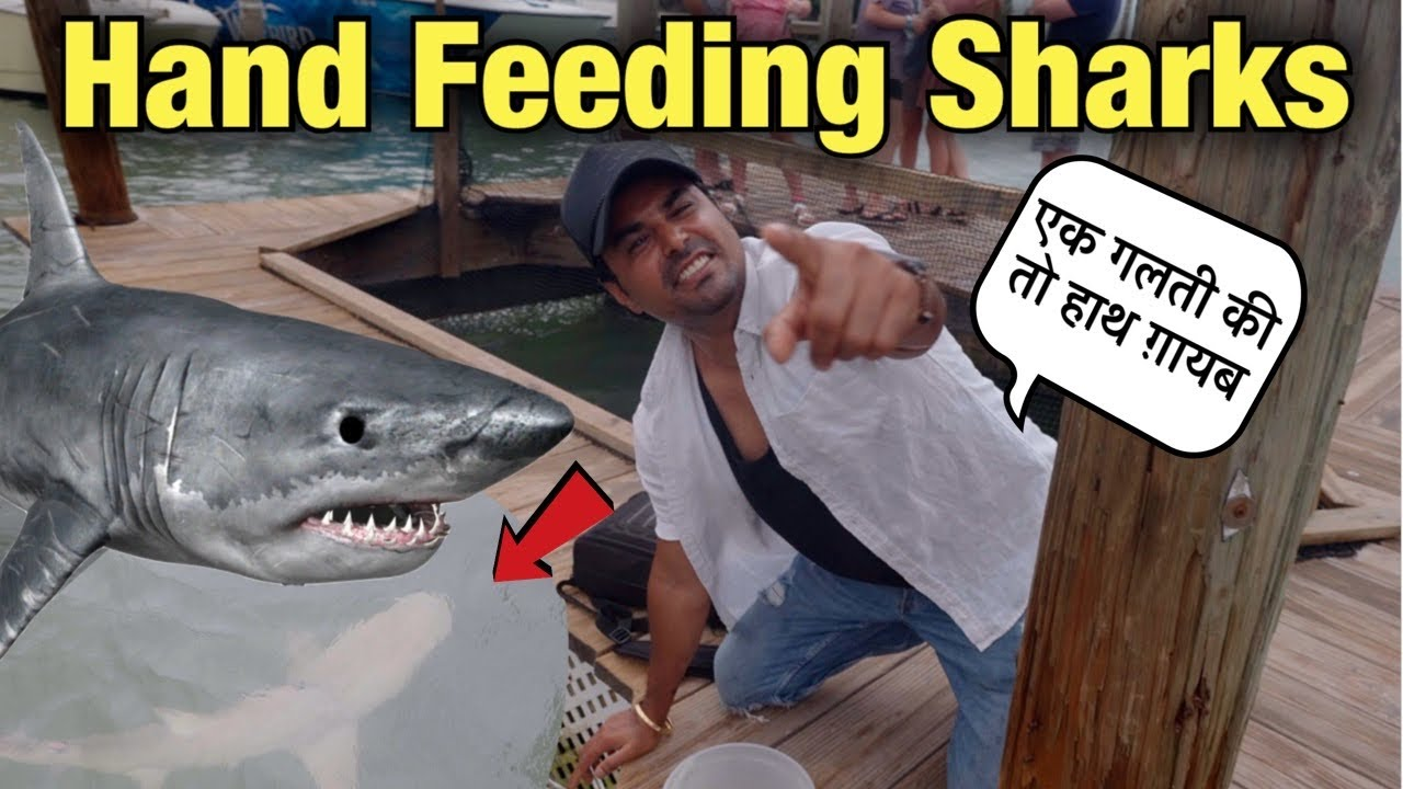 Hand Feeding Wild Sharks   Robbies Restaurant Key West   Rohan Virdi   Tarpon Feeding In Robbies