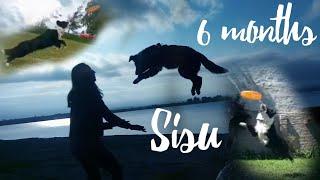 SISU  BORDER COLLIE  6 meses  Trucos   6 MONTHS  TRICKS, FREESTYLE AND FUN!