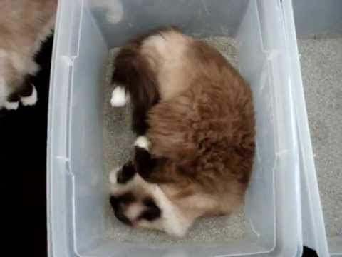 Ragdoll Cat Rolling In His Litter Box ねこ ラグドール Floppycats You