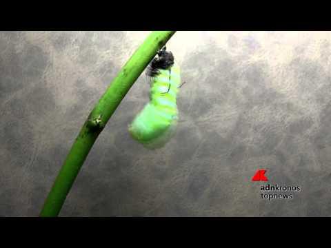 Il Ciclo Di Vita Della Farfalla Monarca Youtube