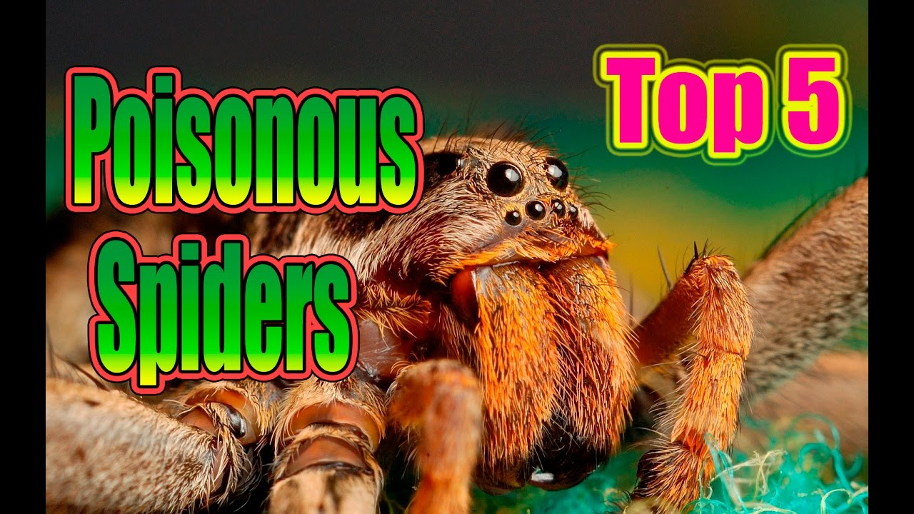 Download The most poisonous spiders in the world! TOP 5