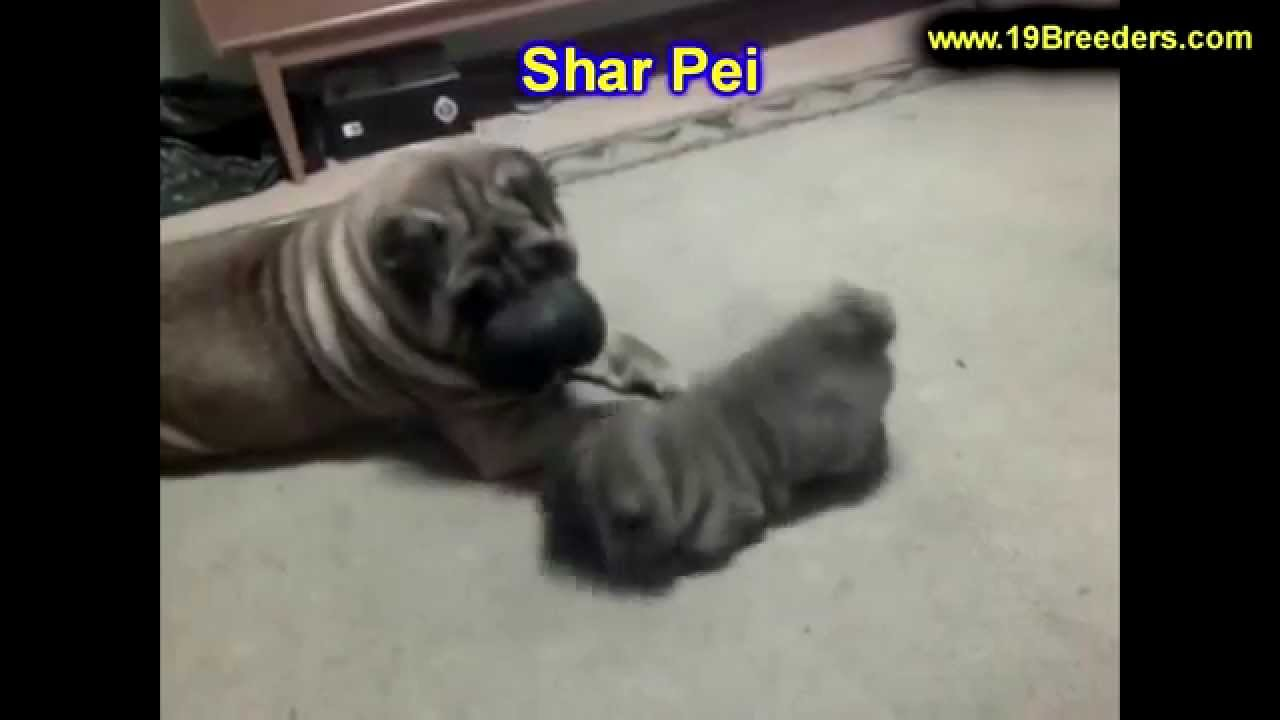 Shar Pei Puppies Dogs For Sale In Louisville Kentucky